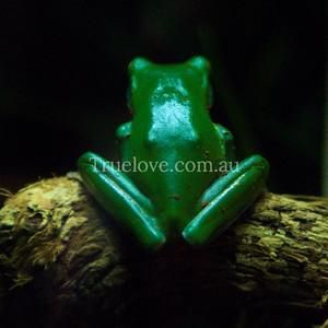 green tree frog DSC_0070