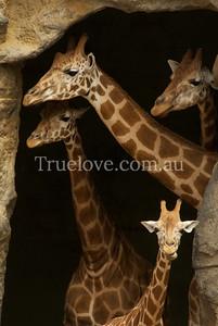 Giraffes at Sydney's Taronga Zoo 31.1.2013 © Tess Peni 2013
