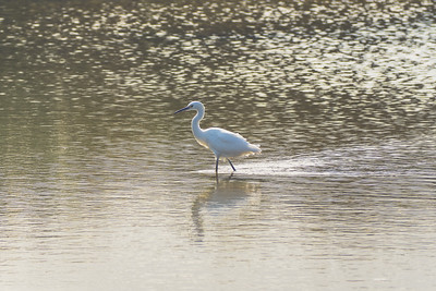 Egret Walking