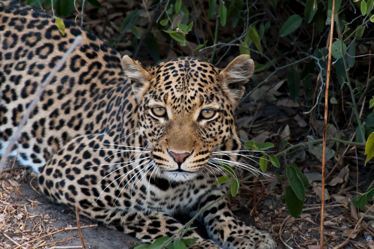 Captured this moment as we disturbed a Leopard resting just above the Chobe Waterfront.  Chobe National Park, Botswana 2013.