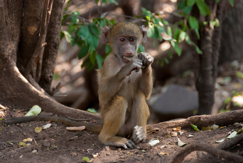 Baboon at Victoria Falls near Livingstone, Zambia 2013.