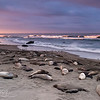 Golden Morning - Elephant Seals of Piedras Blancas, CA
