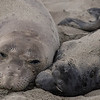 Cozy - Elephant Seals of Piedras Blancas, CA
