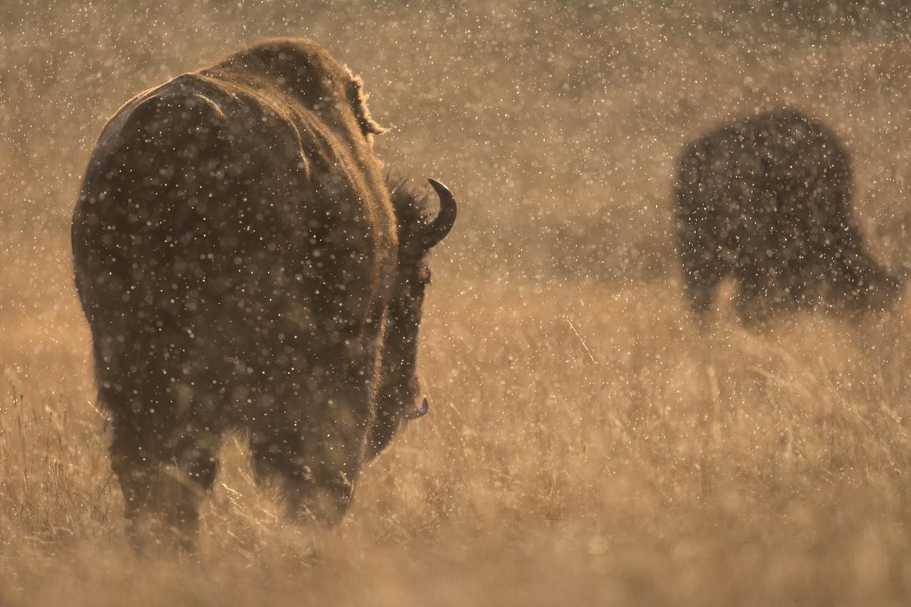 Bison in the Rain - Yellowstone 2015