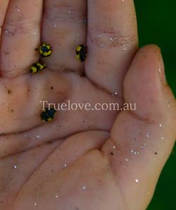 Child's hand holding ladybirds/ladybug insects, Sydney, Austrlia 15/01/08 (c) Tess Peni