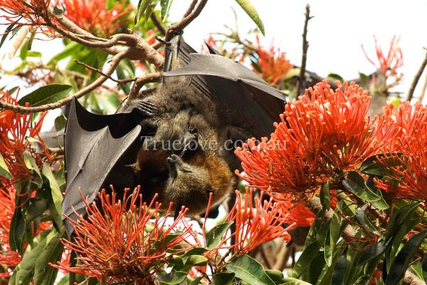 BABY FRUIT BAT (FLYING FOX) CLINGS TO ITS NUTURING MOTHER at the Sydney Royal Botanic Gardens, SYDNEY, 02 NOVEMBER 2008 (c) TESS PENI