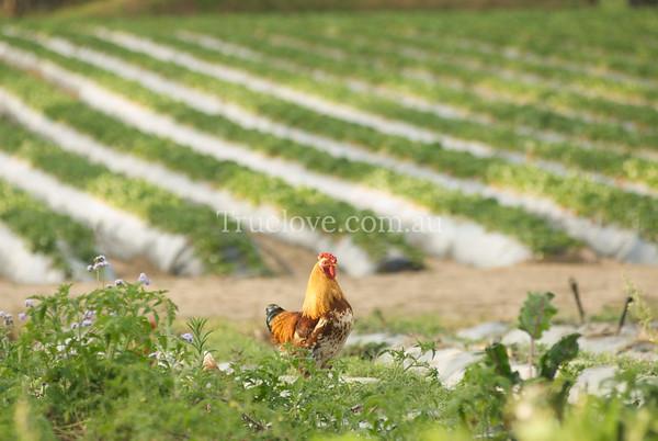 chicken DSC_0007