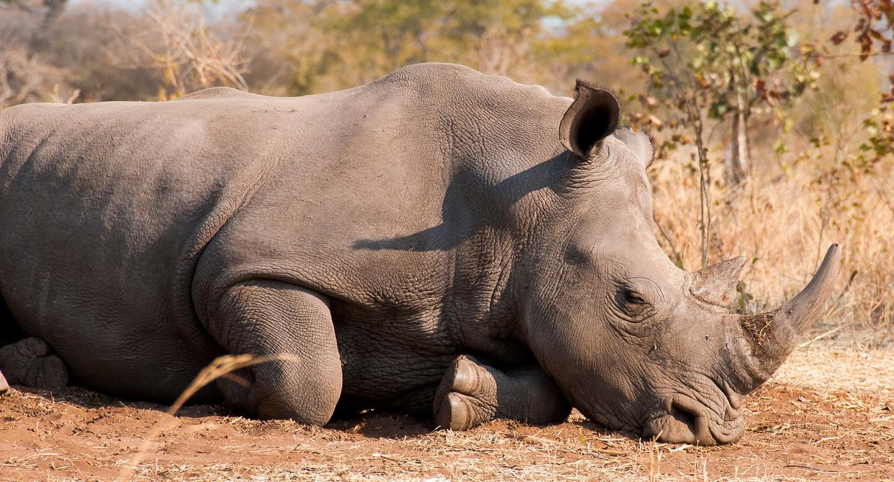 Rhino resting near Livingstone, Zambia 2013.