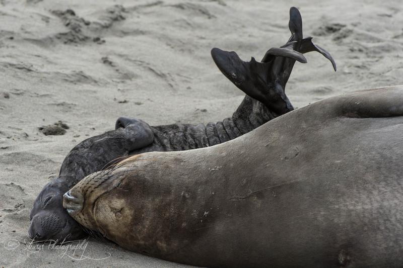 Sleeping in - Elephant Seals of Piedras Blancas, CA