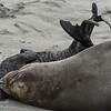 Sleeping in - Elephant Seals of Piedras Blancas, CA