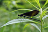 Female Ebony Jewelwing - Waterfall Glenn, Darien, IL