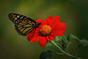 Monarch on Mexican Sunflower 4