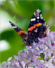 Red Admiral on Lilac - Backyard Garden