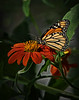 Monarch on Mexican Sunflower 3