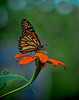 Monarch on Mexican Sunflower 2