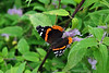 Red Admiral - Backyard Garden