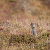 Acrtic ground squirrel