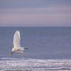 Snowy Egret, Hilton Head Island