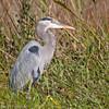 Great Blue Heron, Florida Everglades