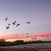 Snow geese, Bosque del Apache Nat. Wildlife Refuge