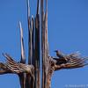Saguaro and Gila woodpecker