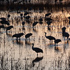 Cranes, Bosque del Apache Nat. Wildlife Refuge