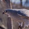Grey Hawk at the Tucson Desert Museum