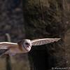Barn Owl at the Tucson Desert Museum