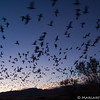 Snow geese flying out in the early morning, Bosque del Apache Nat. Wildlife Refuge