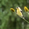 Goldfinch _MG_6921-49