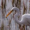 Great Egret,Hilton Head Island