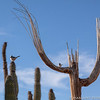 Saguaro and Cactus Wren