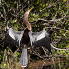 The Anhinga feathers are not water repellent. They spend a lot of time drying out after fishing under water, Florida Everglades.