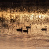 Pintail ducks, Bosque del Apache Nat. Wildlife Refuge