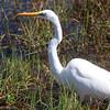White Egret, Florida Everglades