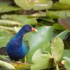 Purple Gallinule steps across the lily pads, Florida Everglades