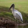 Wood Stork, Florida Everglades