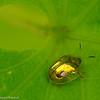 Tortoise Beetle (family Chrysomelidae)