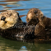 Sea otter with small pup on belly