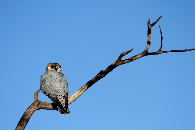 Falco longipennis