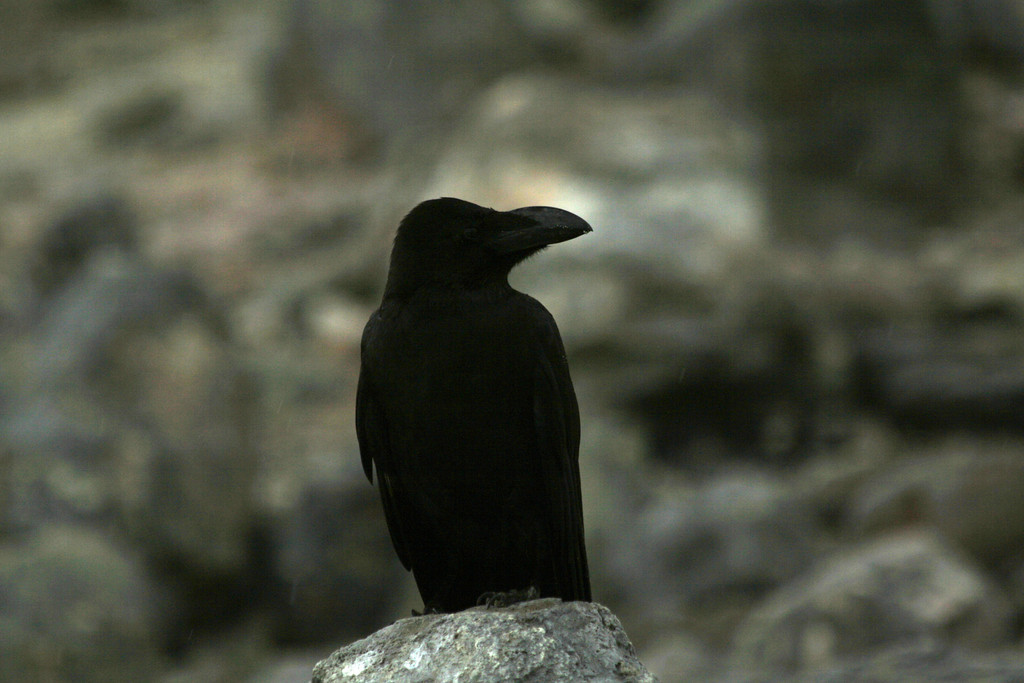 Corvus macrorhynchos japonensis