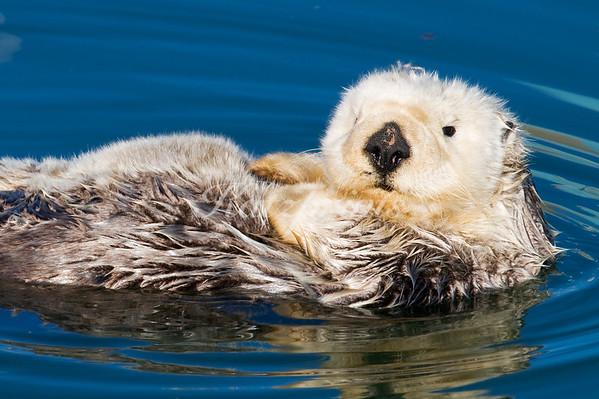Sea otter portrait