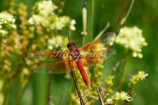 A Flame Skimmer rests atop a twig near a backyard pond