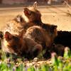 fox cubs