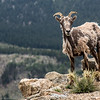 Mountain Goat on Mt Evans
