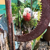 Second pet parrot, on a roost of scrap metal and rough wood