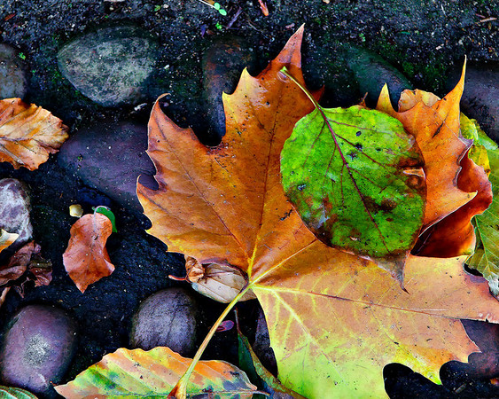 cambridge-leaves