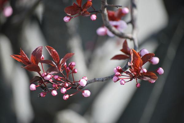 Pink Buds (c) Daniel Yoffee