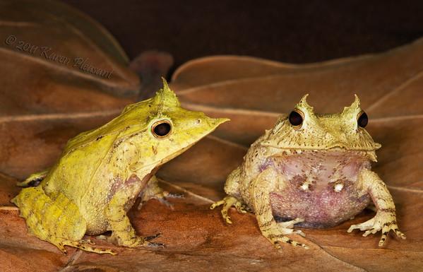 Solomon Isle leaf frogs
