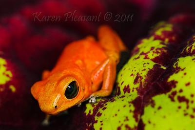Dendrobates pumilio 'Cayo Nancy', Dart frog